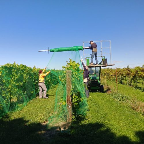 knetting the grapes